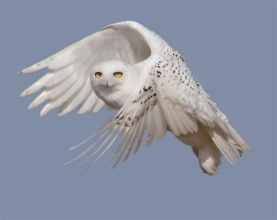 Handout of a snowy white owl taking flight