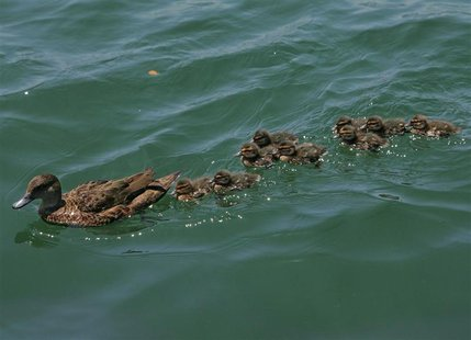 A mother Mallard Duck leads its nine baby ducklings during a swim in Sydney Harbour