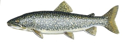 Wisconsin Lake Trout (courtesy of wi.dnr.gov)