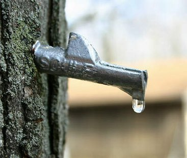 A maple tree tap