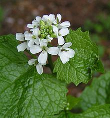 Garlic Mustard Plant (courtesy of Wikipedia)