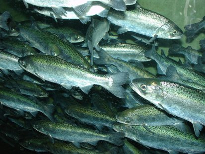 Chinook Salmon (courtesy of Wikipedia)
