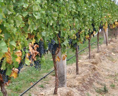 Grape vines (courtesy of Wikipedia)