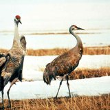 A pair of sandhill cranes in a marsh