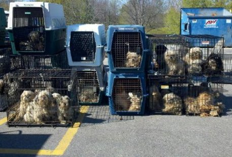 Photo of dogs seized in raid of alleged puppy mill in Cheshire Township on Apr. 14, 2012 (photo courtesy Saugatuck/Douglas Area Business Association).
