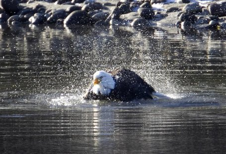 A bald eagle baths in the Squamish River in Squamish, British Columbia north of Vancouver, December 8, 2011. The eagles gather in the area e