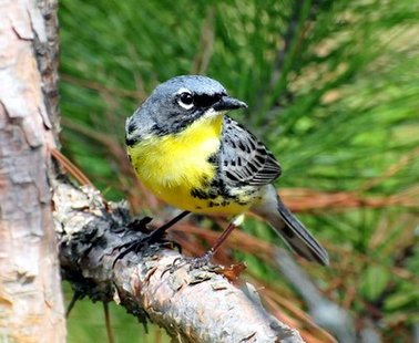 Kirtland's Warbler (courtesy of ebird.org)