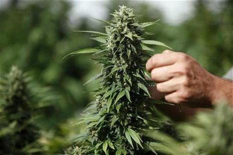 A worker touches a cannabis plant at a growing facility for the Tikun Olam company near the northern city of Safed August 22, 2010. REUTERS/