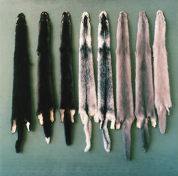 Mink pelts (courtesy of www.furrhjy.com)
