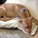 A skinny 4 year old pitbull named Trea brought into the Lincoln County animal shelter, July 23 2012