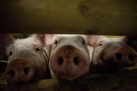 Pigs stick their noses through a gate in the animal pavilion at the Green Week Agriculture and Food fair in Berlin, January 19, 2012. REUTER