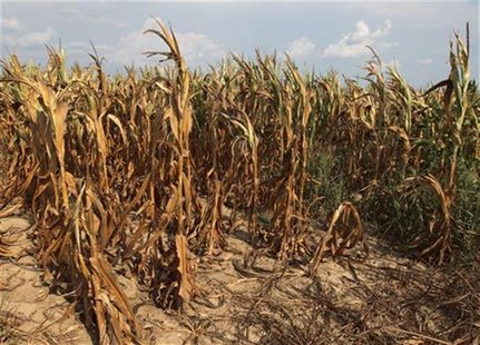 Corn plants struggle to survive on the drought-stricken land of farmer Scott Keach who owns 2500 acre Keach Farm in Henderson, Kentucky, Jul
