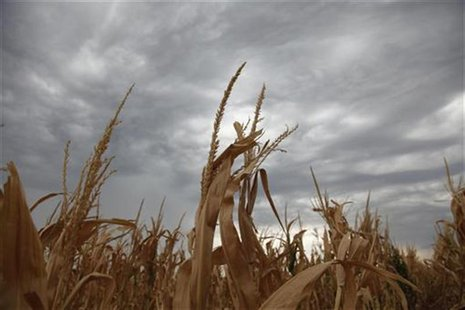 A damaged corn crop in Harvey County, in central Kansas August 7, 2012. Rain and cooler temperatures in the drought-stricken U.S. Midwest cr