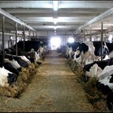 Cows in a large milking barn