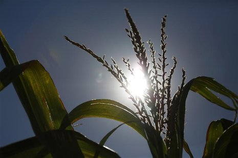 A corn stalk is seen under the noon sun at Sunburst Dairy, as owner Brian Brown hired workers from Doerfer Bros Inc. to harvest the corn at