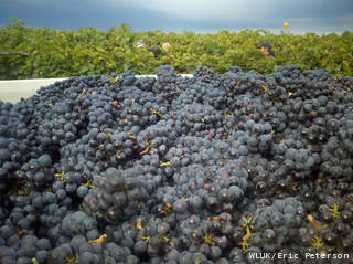 Grapes at Stony Creek Vineyard in Forestville are harvested for von Stiehl Winery in Algoma, Sept. 19, 2012. (courtesy of FOX 11).