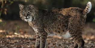 Indiana Bobcat