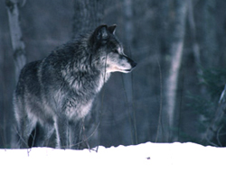 A Gray Wolf is shown in a Michigan Department of Natural Resources stock image.  Source: http://www.michigan.gov/dnr/0,1607,7-153-10370_12145_12205-32569--,00.html