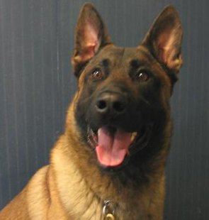 "Everest Metro Police Department's K9 named ""Lord.""  He's a Belgian Malinois who joined the force in 2005 with his handler, officer Robert Dickerson."