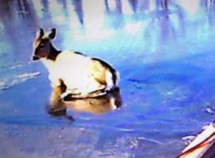 Deer rescued from Wisconsin River (photo: Wisconsin Rapids Fire Dept.)