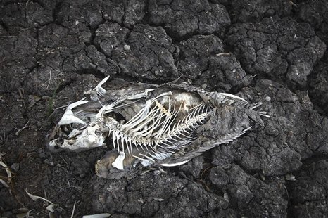 A dead carp in one of the dried up pools at Cheyenne Bottoms Wildlife Area, in Great Bend, Kansas in this file photo taken August 7, 2012. R