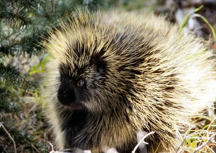Porcupine (courtesy of Wikipedia)