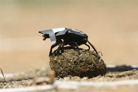 A species of South African dung beetle is seen in this undated handout photo from University of the Witwatersrand released January 25, 2013.