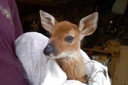 Dani The Deer