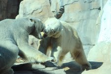 a polar bear kiss?
