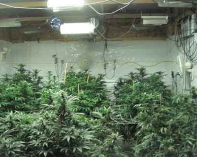 A marijuana plant growing operation (photo courtesy Van Buren Co. Sheriff's Dept.)