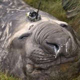A Southern Ocean elephant seal wears a sensor on its head as it sleeps on an island in the Southern Ocean, Antarctica in this handout photo