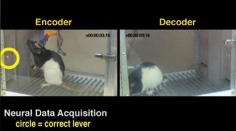 A split screen image shows an encoder rat in Natal, Brazil and decoder rat in a lab at Duke University, North Carolina. REUTERS/Nicoleilis,