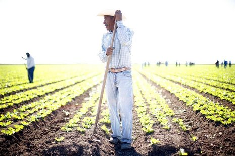 Workers labor at a romaine lettuce farm outside San Luis, Arizona November 9, 2010. REUTERS/Eric Thayer