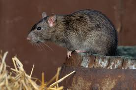 Rat   (Photo credit:  Britanica.com)