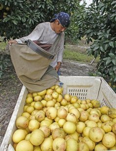 A grove worker dumps a picking bag of red marsh seedless grapefruit in a grove in Vero Beach, Florida December 1, 2010. REUTERS/Joe Skipper