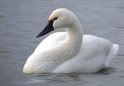Tundra swan (courtesy of www.animalspot.net)