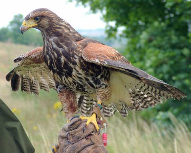 Falconry (courtesy of Wikimedia Commons)