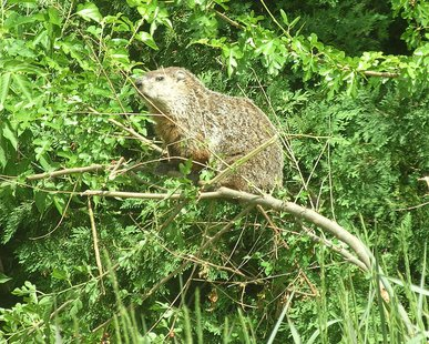 Woodchuck (courtesy of commons.wikimedia.org)
