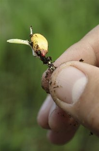 A maize seedling is seen in the corn greenhouse at the Monsanto Research facility in Chesterfield, Missouri in this file photo taken October