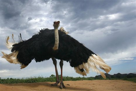 An ostrich fluffs up at an ostrich farm outside Oudtshoorn, some 450 kilometres (279 miles) east of Cape Town. Picture taken December 31, 20