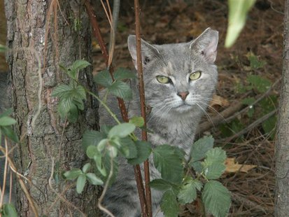 A feral cat looks out from the underbrush in this undated handout photo. Cat lovers are pushing the Florida legislature to pass a law protec