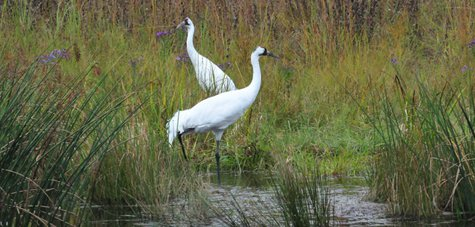 Whooping Cranes.  Photo courtesy U.S. Fish and Wildlife Service