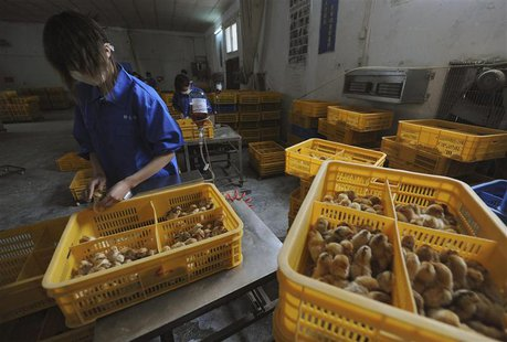 Workers vaccinate chicks with the H9 bird flu vaccine at a farm in Changfeng county, Anhui province, April 14, 2013. REUTERS/Stringer