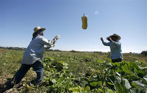 Farm workers harvest squash in Rancho Santa Fe, California in this October 3, 2007 file photo. REUTERS/Mike Blake/Files