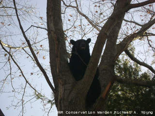 Photo of a bear that was killed by the DNR after wardens say it attacked a donkey at a hobby farm near Shiocton April 19. (courtesy of the Wisconsin DNR).