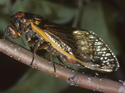 An adult cicada ovipositing into an apple twig is shown in this undated handout photo by Connecticut Agricultural Experiment Station release