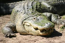 An alligator shown in a stock photo.