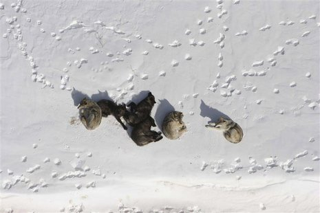 A wolf pack is pictured bedded down in the snow in Yellowstone National Park in this March 2007 photograph obtained on May 4, 2011. REUTERS/