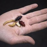 Various stages of beetles crawl around on the palm of a hand at an insect farm in Ermelo January 12, 2011. REUTERS/Jerry Lampen