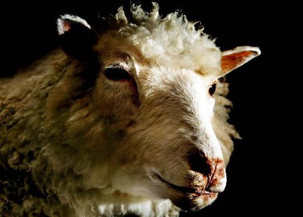 Dolly the sheep - the world's first mammal cloned from an adult cell - is seen on display at the National Museum of Scotland in Edinburgh, A